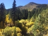Aspens and Cottonwoods