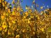 Backlit Aspen Leaves