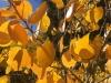 Aspen Leaves Close Up